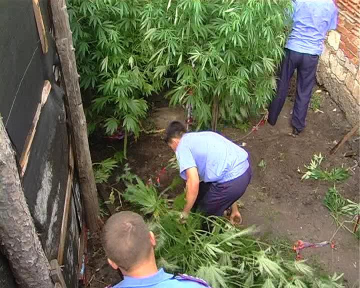 Как правильно выращивать коноплю на улице вырастить марихуану на андроид